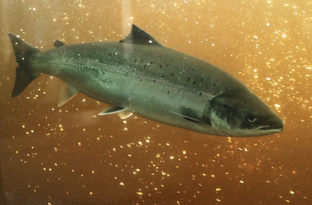 Histoire de saumon, le programme.